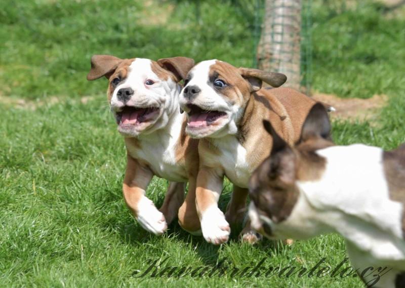 kontinentální buldog štěně  (12)