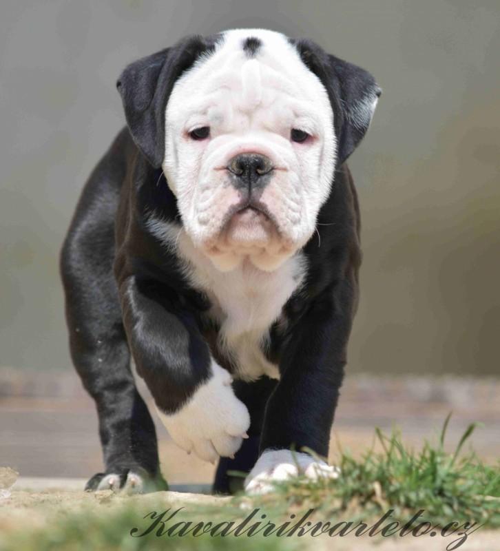 kontinentální buldog štěně  (45)